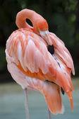 American flamingo — Stock Photo