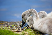 Baby Swans Eating Lunch — Stock Photo