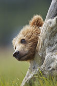 Bear in stump — Stock Photo