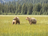 Bear pair — Stock Photo