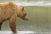Bear walking into water — Stock Photo