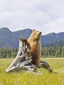 Bear with mountains — Stock Photo