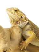 Bearded dragon bearded dragon — Stock Photo