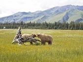 Biting bear — Stock Photo