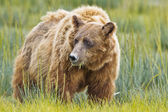 Brown bear eating grass — Stock Photo