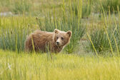 Brown bear cub — 图库照片