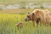 Brown bear mother — Stock Photo