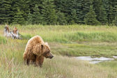 Brown bear walking — Stock Photo