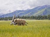 Brown bear in alaska — Stock Photo