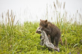 Clambering bear cubs — Stock Photo