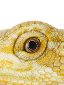 Close up shot of bearded dragon — Stock Photo