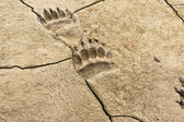 Dried bear tracks — Stock Photo