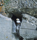 Hiding puffin — Stock Photo