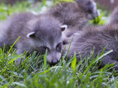 Image of baby racoons — Stock Photo