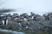 Large group of gentoo penguins — Stock Photo