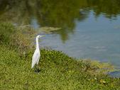 Little egret — Stock Photo