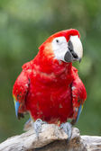 Macaw bird on a branch — Stock Photo