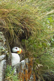 Nesting puffin — Stock Photo