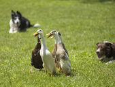 Mallard duck playing on the field — Stock Photo