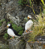 Pair of puffins — Stock Photo