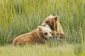 Pair of cubs — Stock Photo