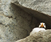 Puffin from below — 图库照片