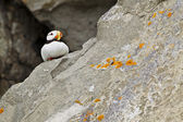 Puffin on rock — Stock Photo