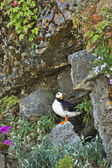 Rocky puffin — Stock Photo