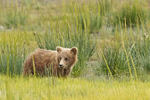 Short bear cub — Stock Photo