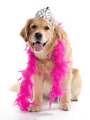 Silly golden retriever — Stock Photo