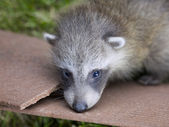 Six week old baby racoon — Stockfoto