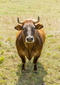 Brown cow grazing on a meadow — Stock Photo
