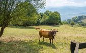茶色の牛の牧草地に放牧 — ストック写真