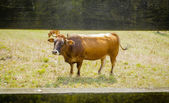 Brown cows grazing on a meadow behind a fence — Stock Photo