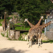Постер, плакат: Fancy giraffe at Riga Zoo