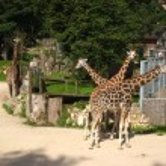 ������, ������: Fancy giraffe at Riga Zoo
