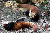 Red panda at Bronx Zoo — Stock Photo
