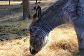 Close up of silver - gray donkey eating haulm, reed in the Zoo — Stock Photo