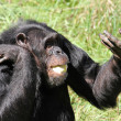 Stock Photo: Chimpanzee lunch
