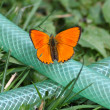 Stock Photo: Butterfly orange babocka