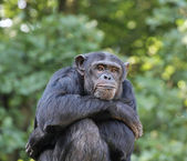 Seated Chimpanzee — Stock Photo