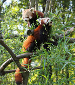 Red pandas — Stock Photo