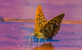 Argynnis aglaja — Stock Photo