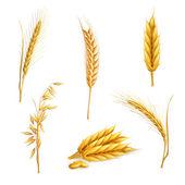 Pšenice, vektorové sada — Stock vektor