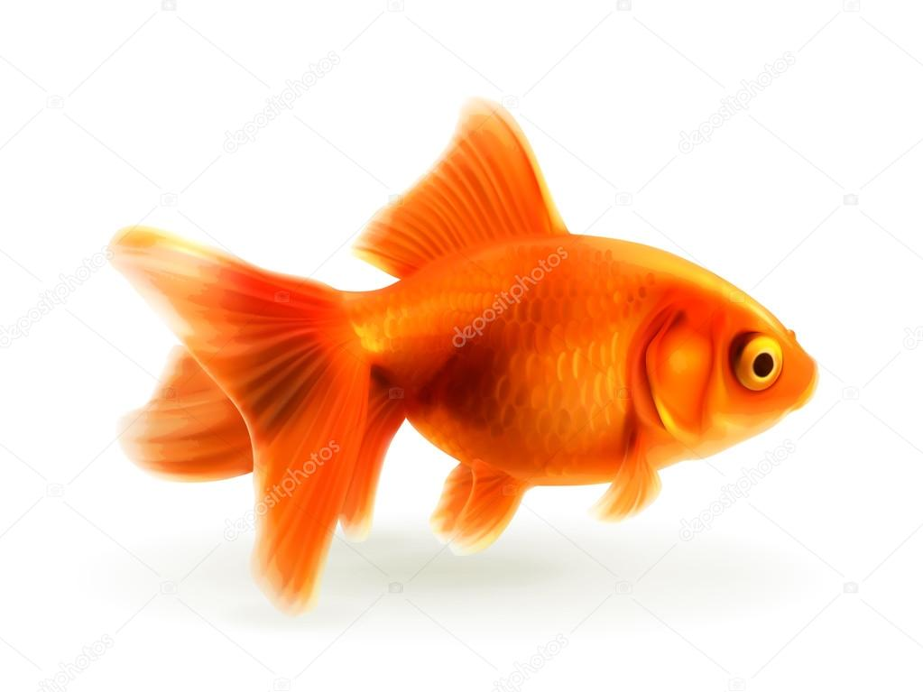Poisson rouge illustration vectorielle photor alistes for Tarif poisson rouge