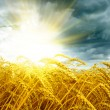 Golden sunset over wheat field - Stock Photo