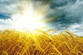 Buğday alan üzerinde golden sunset — Stok fotoğraf