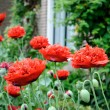 Red poppies in backyard - Stok fotoğraf