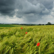 Wheat field with poppies - 