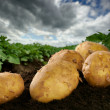Freshly dug potatoes on a field — Stock Photo #12672692